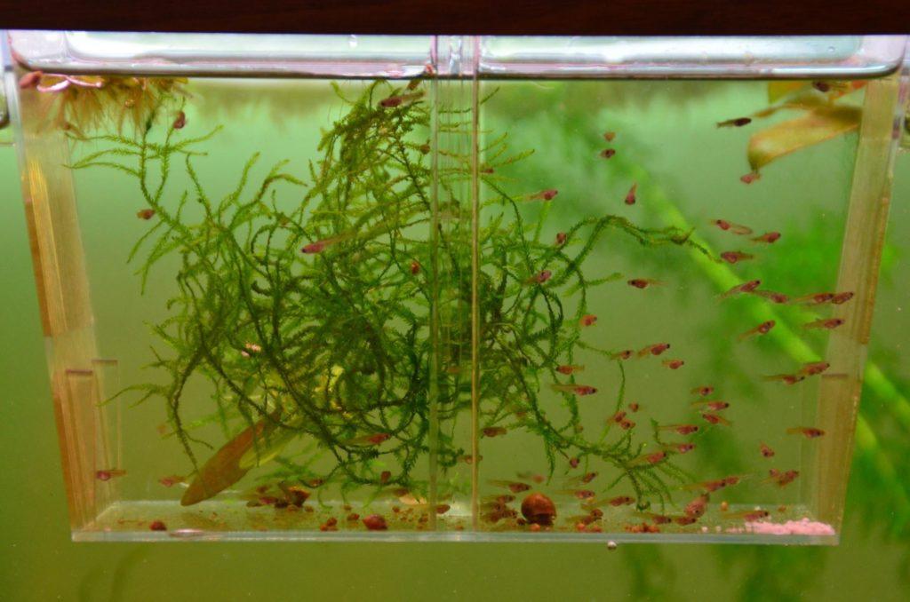 Мальки в аквариуме