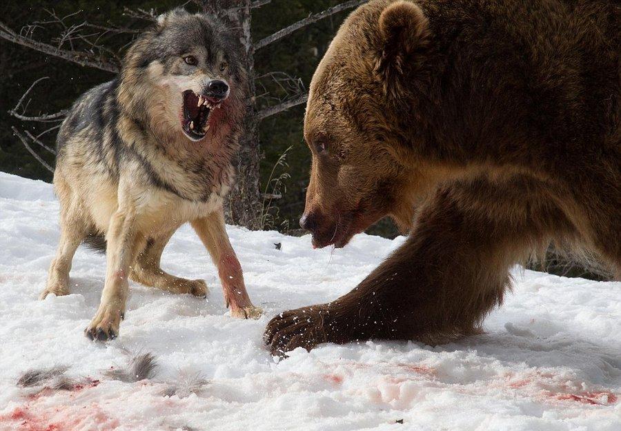 Медведь и волк