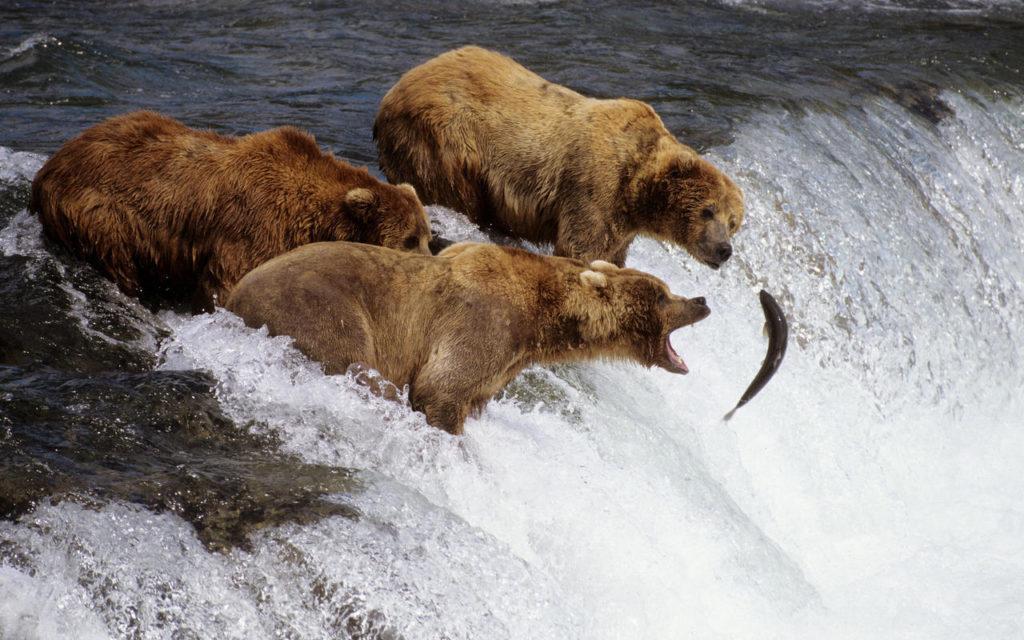 Медведи ловят рыбу