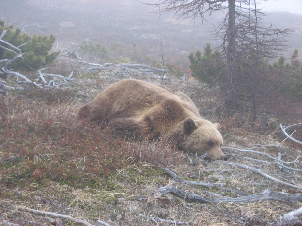 Мёртвый медведь