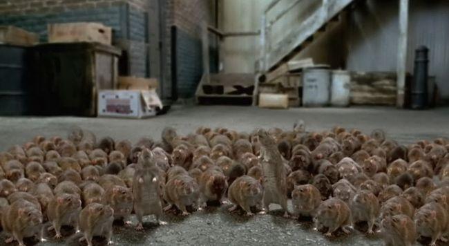 Много крыс на улице