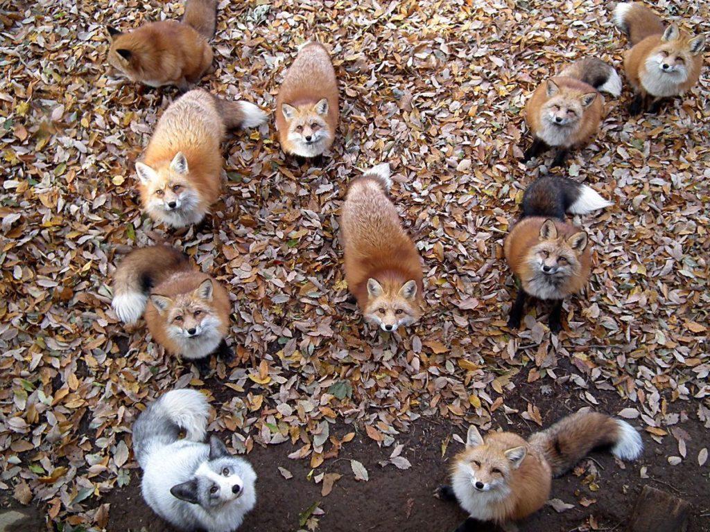 Много лисиц