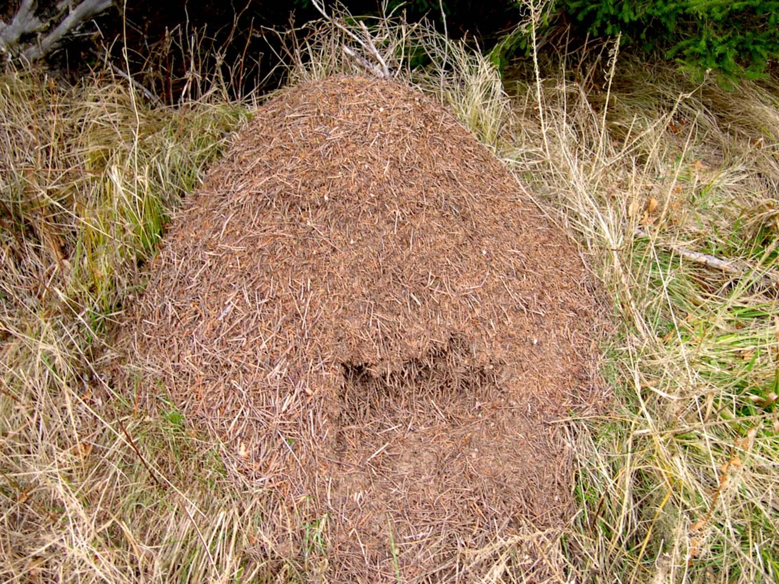 Картинки муравейник
