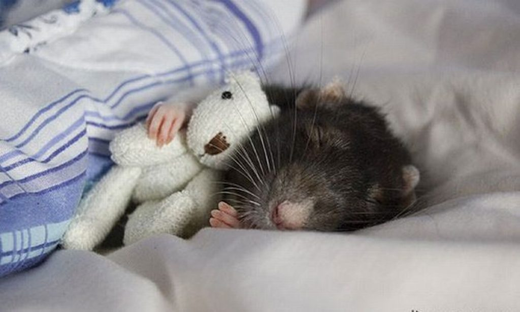 Мышь спит в кровати
