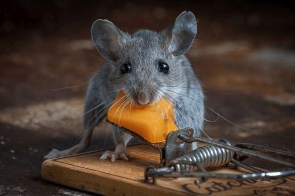 Мышь возле мышеловки