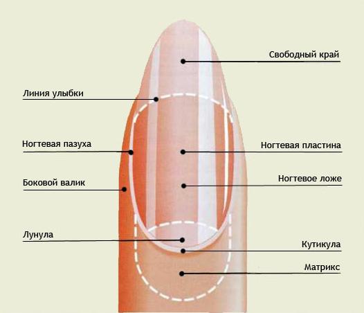 Названия разных зон ногтя