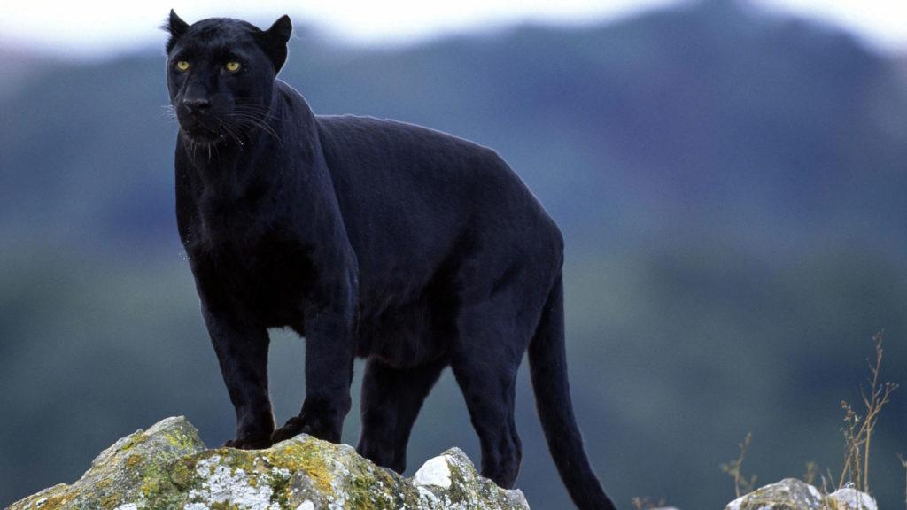 сонник пантера черная в клетке