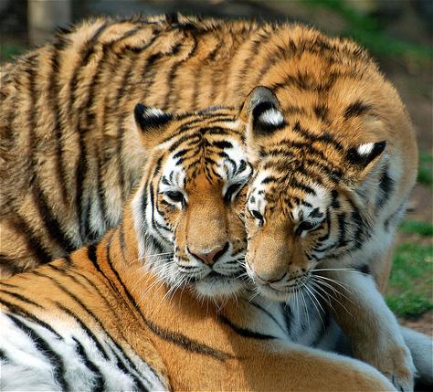 Пара тигров