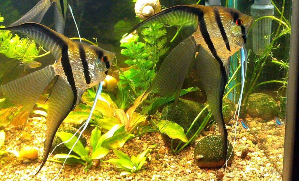 Перламутровые скалярии в аквариуме