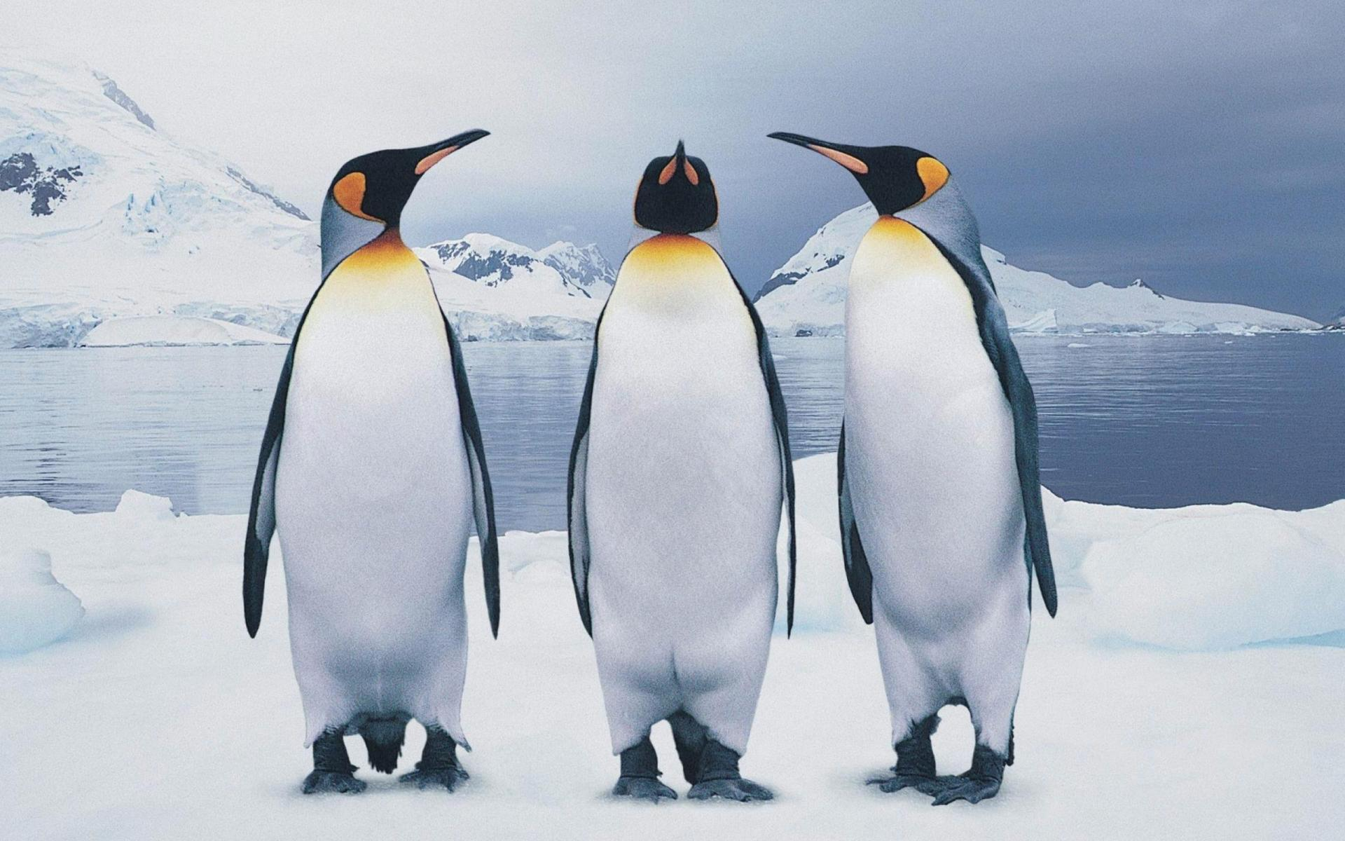 Все про пингвинов картинки тогда прошли