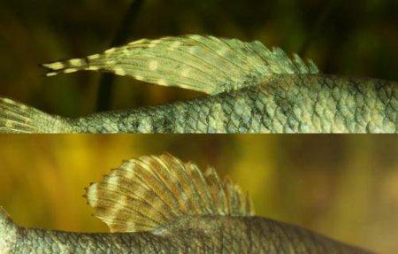 Плавники самца и самки гурами