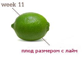 размеры плода 11 неделя