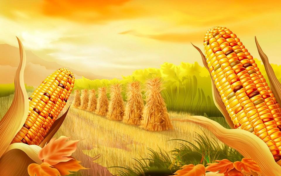 Початки кукурузы на фоне залитого солнцем поля
