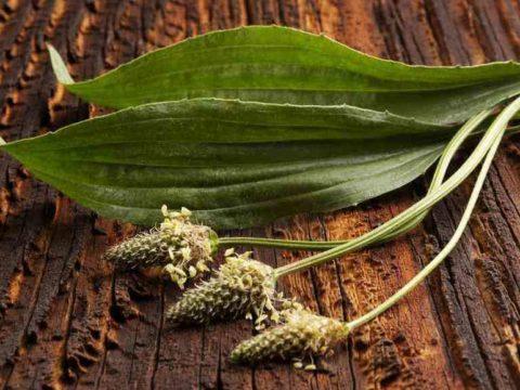 подорожник лекарственное растение