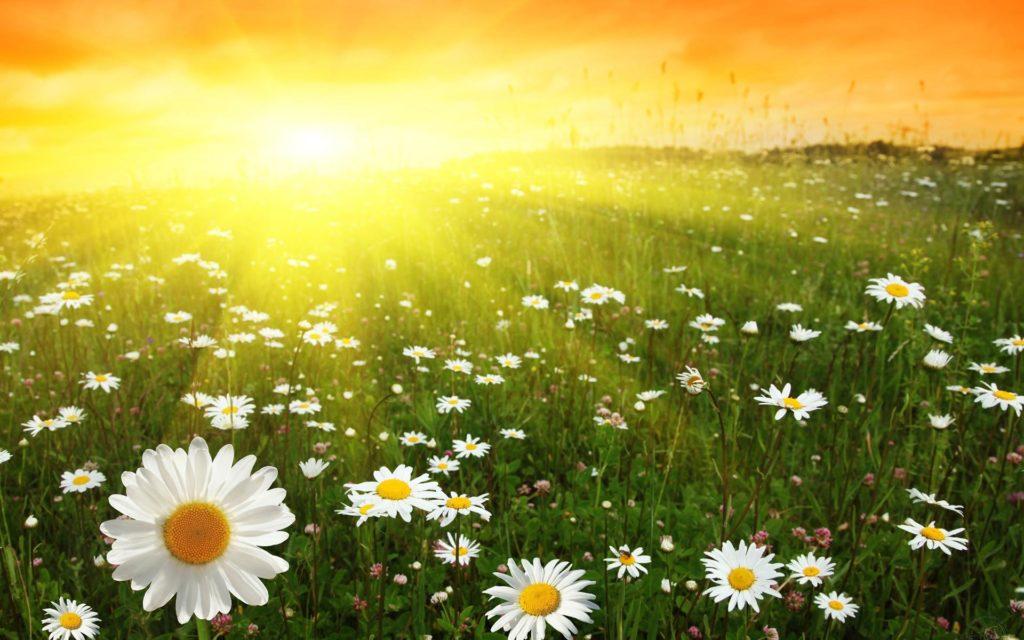 Поле ромашек под ярким солнцем