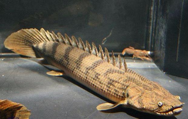 Полиптерус на дне аквариума