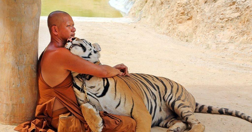 Ручной тигр