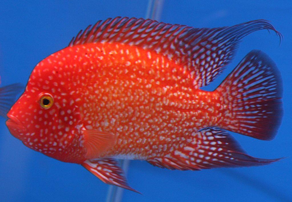 Рыба красного цвета