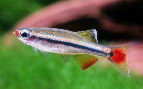Рыбка кардинал