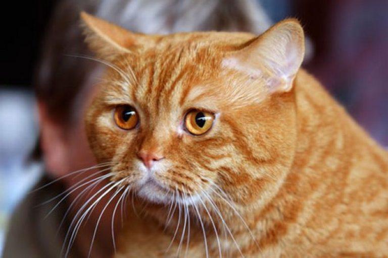 Сонник приснился рыжий кот к чему снится рыжий кот во сне