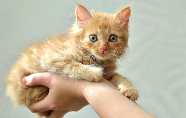 Рыжий котёнок на руках
