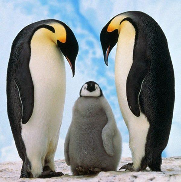Семейство пингвинов