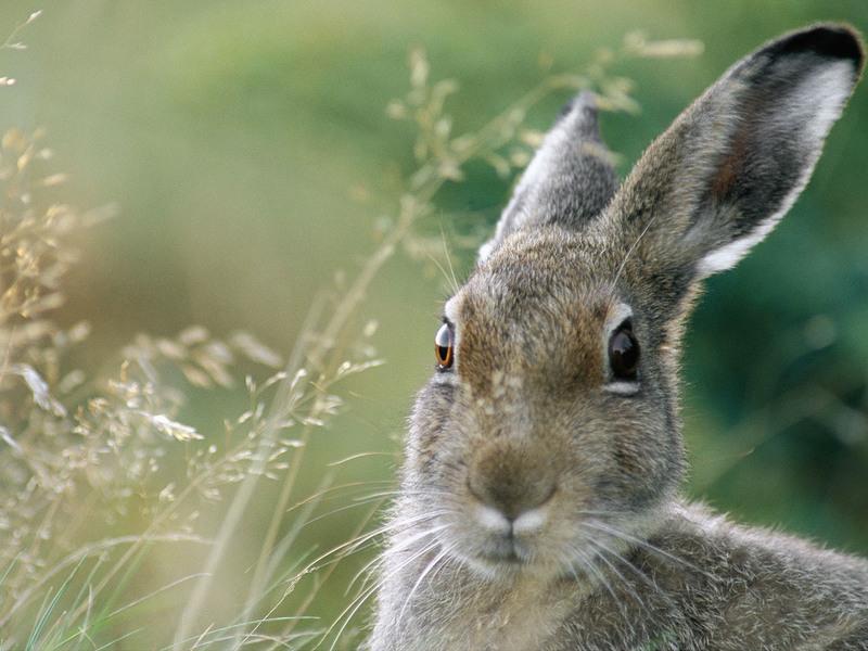 Серый заяц