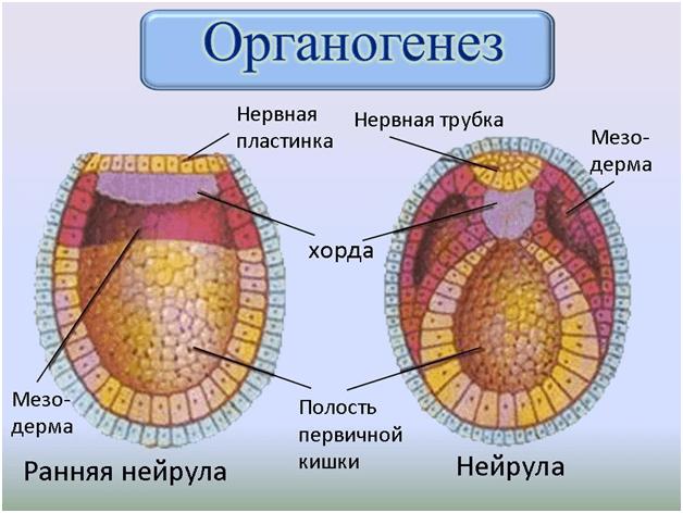 Схема органогенеза