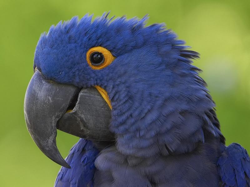 К чему снится попугай - толкование по сонникам