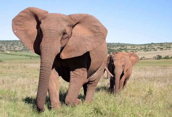 Слон без бивней