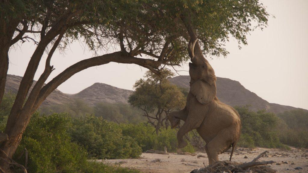 Слон на задних ногах