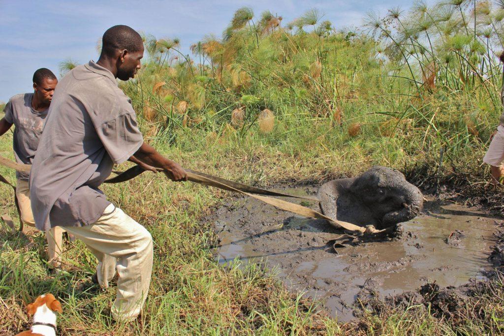 Слона вытаскивают из болота