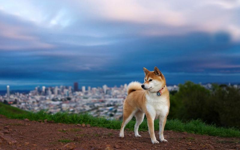 Собака породы акита-ину