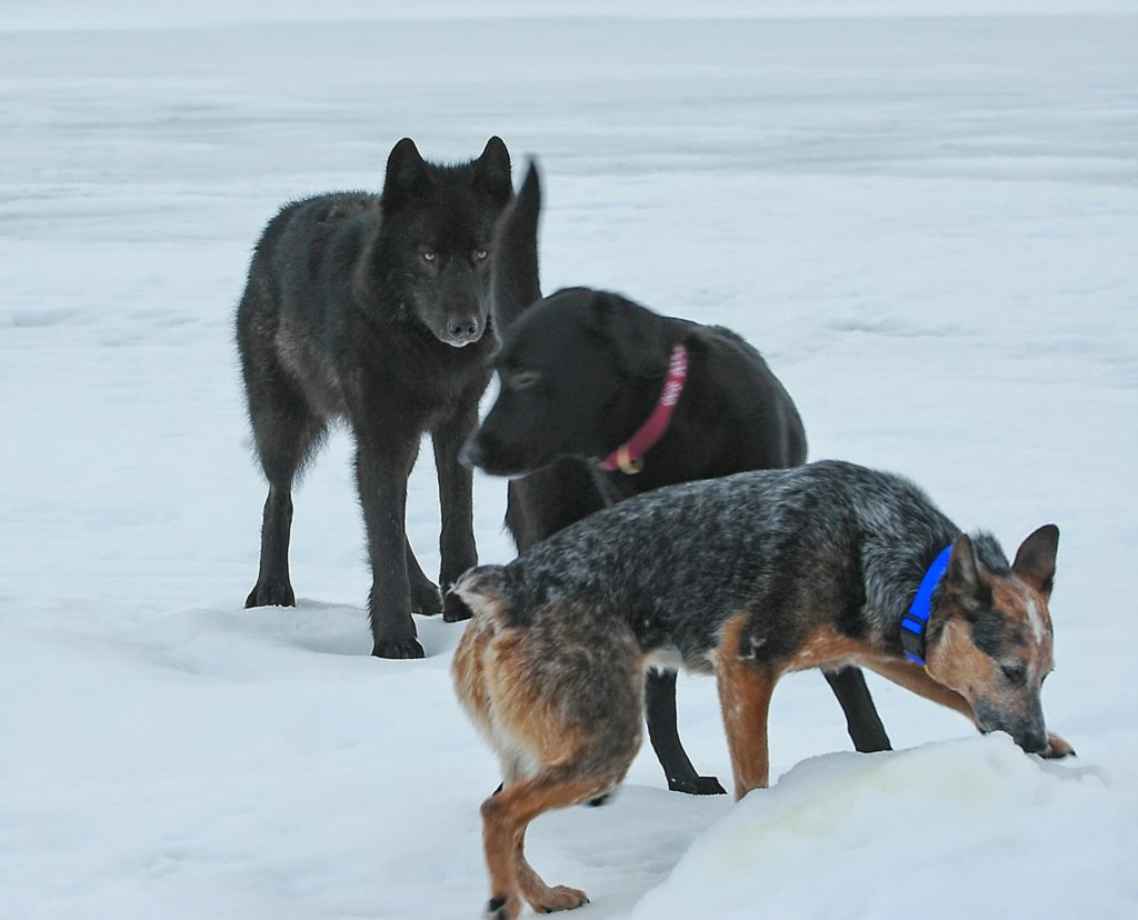 Собаки среди волков