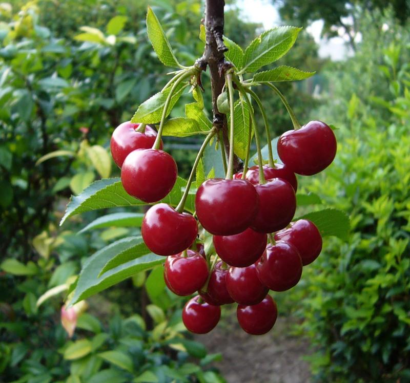 Спелая красная вишня