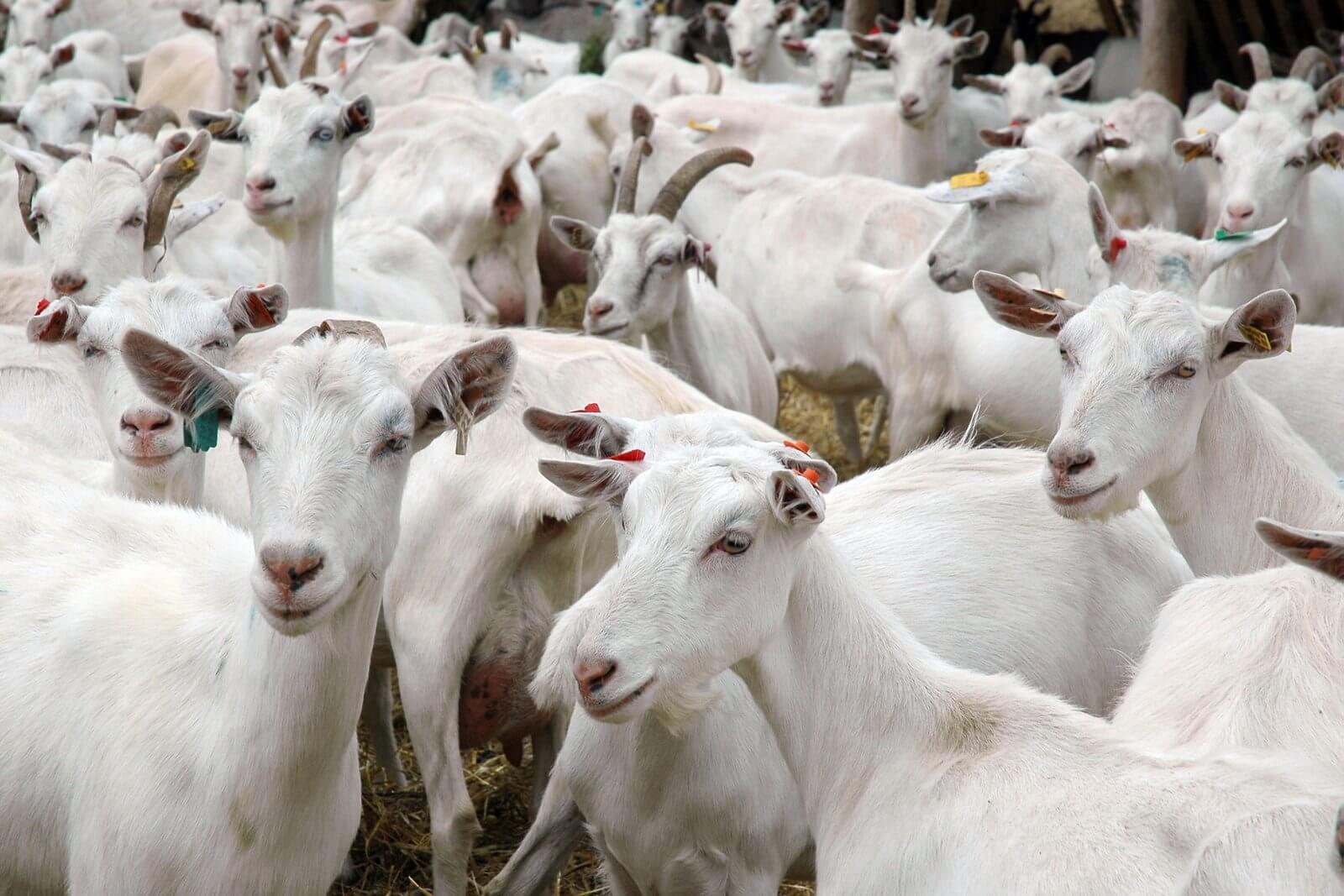 коза с сниться козлятами чему к