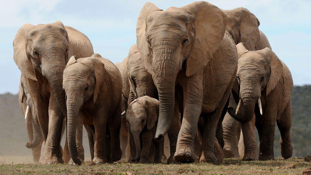 Секс среди жывотных слоны