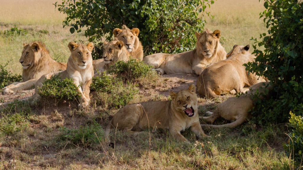 Стая львов