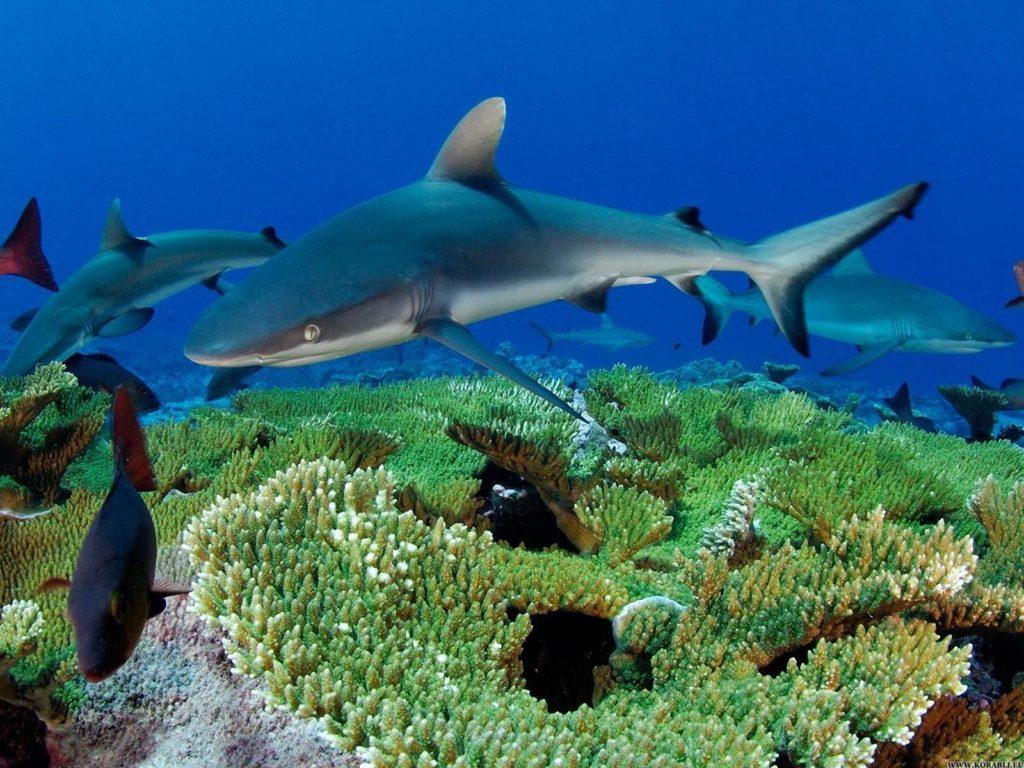 Стая рифовых акул
