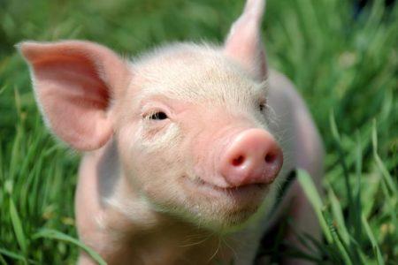 Секс со свинь й поросенок