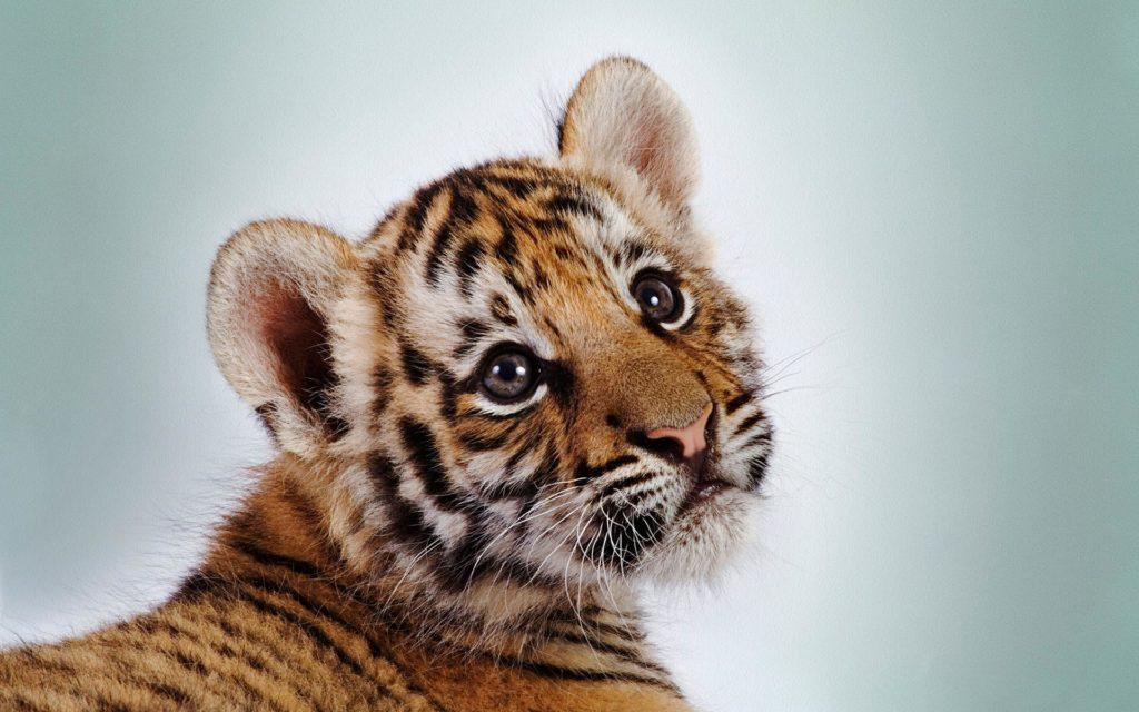 Тигрёнок