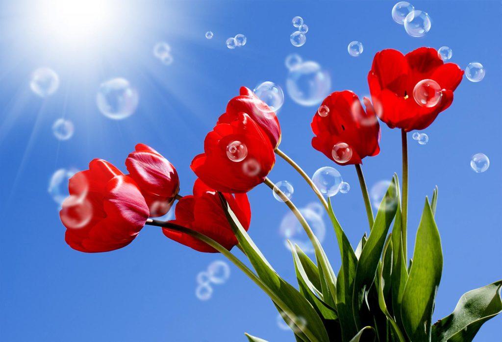 Тюльпаны под ярким солнцем