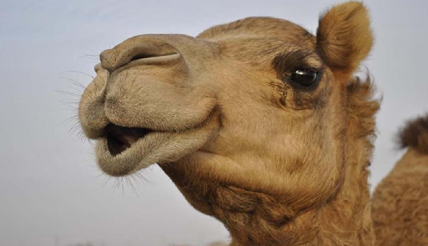 Девушка занимается сексом с верблюдом