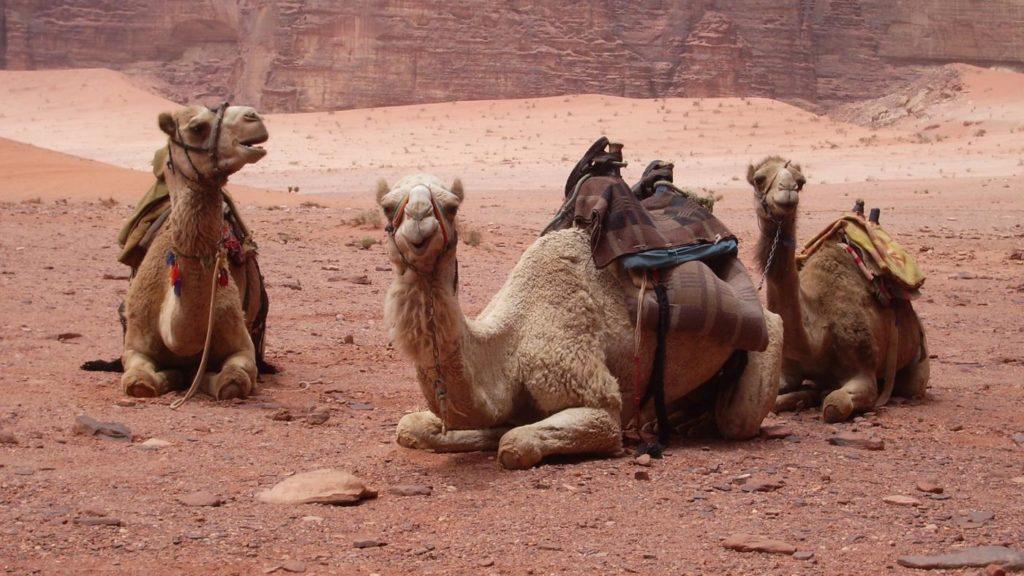 Верблюды отдыхают