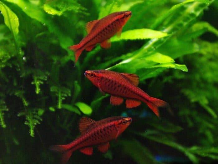 Вишнёвые барбусы в аквариуме