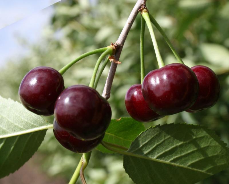 Ягоды вишни на ветке