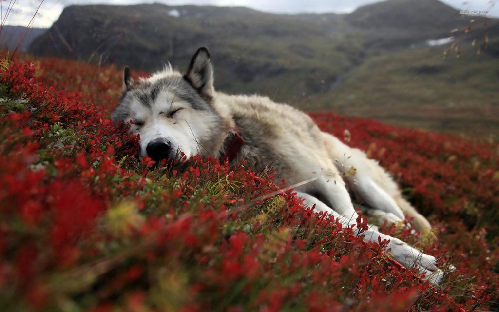 Волк спит