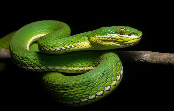 Зелёная змея