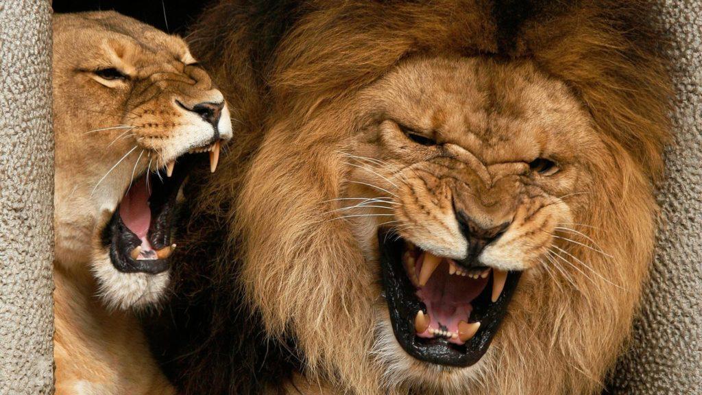 Злой лев