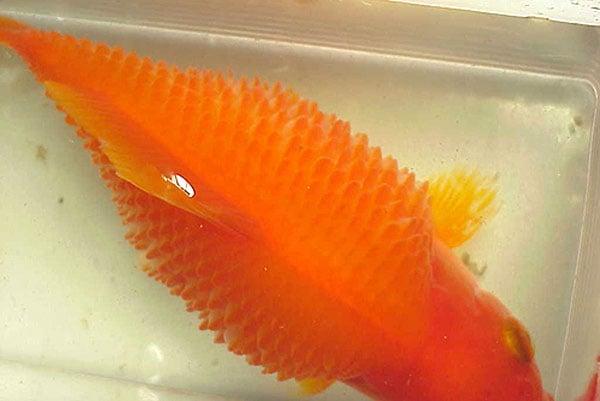 Золотая рыбка с симптомами водянки